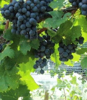 GH grapes