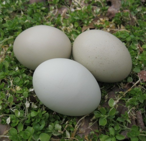 jade layer eggs