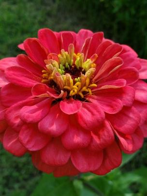 Cerise Rose Zinnia