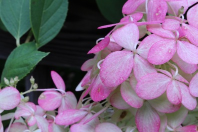 Naturally Pink Tinted - Aged White Hydrangea