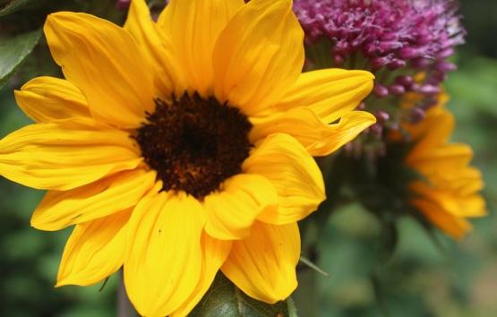 Sunflowers and Allium